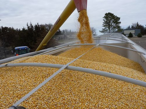 Rast cena kukuruza i pšenice. Stočni ječam 14,80 din/kg