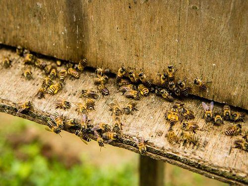 PKS - Potrebno je podsticati razvoj privrednog pčelarstva