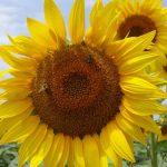 EFSA: Postoji rizik za pčele od tri vrste neonikotinoida