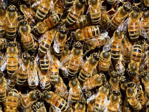 Inovativno rešenje protiv varoe – sauna za pčele