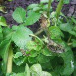 Zaštita paradajza, krompira i vinove loze od prouzrokovača plamenjače