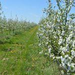 Gajenje pokrovnih kultura u voćnjacima