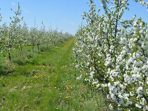 vocnjak u cvetu visnja
