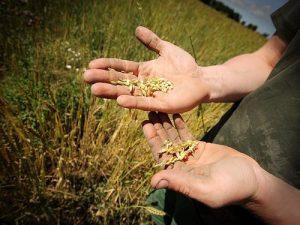 zrelo seme zita na dlanovima