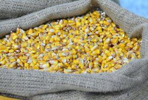 zrno kukuruza krupno