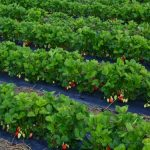 Sadnja jagode u julu i avgustu je najbolja, evo i zašto