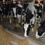 Uslovi držanja goveda u stajama zimi