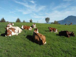 krave leze na pasnjaku