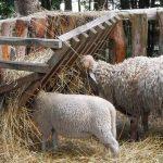 Ovce – ishrana i držanje u stajama