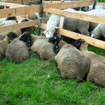 Na koje načine kontrolisati mlečnost ovaca?