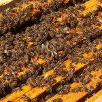 Sprečavanje pojave rojenja pčela