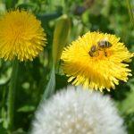 Razvojna paša i važnije medonosne biljke