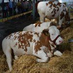 Izložba stoke na Poljoprivrednom sajmu: Stočarstvo u punom sjaju