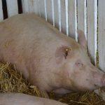 Plan aktivnosti za kontrolu afričke kuge svinja usvojen