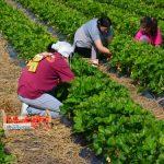 Kako negovati jagode nakon berbe