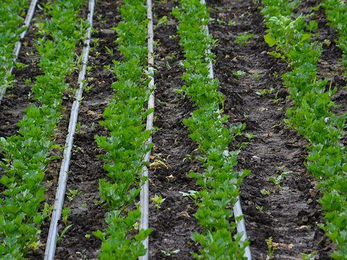 Celer- kako proizvoditi kvalitetan rasad