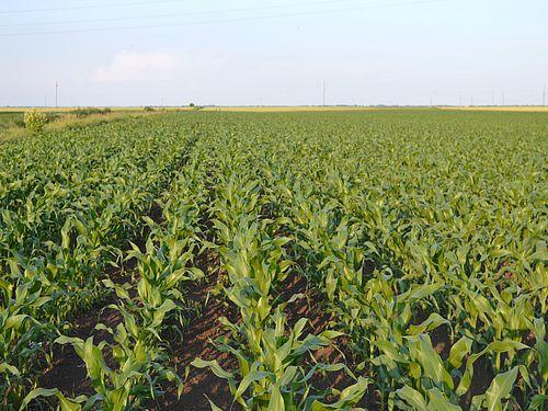 Kako da prepoznamo simptome nedostatka hranljivih elemenata kod kukuruza