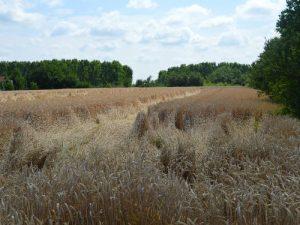 psenica zrela na polju