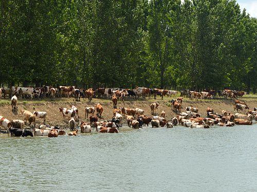 krave na kupanju na reci