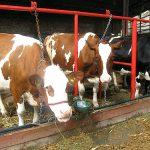 Kako da pomognemo kravama kada su dani vreli?