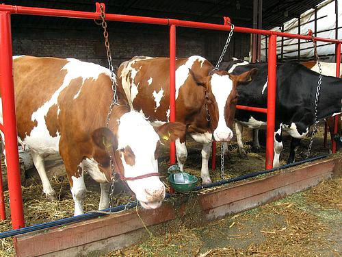 Koliko vode je potrebno kravama?