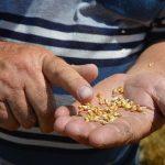 Kvalitetna pšenica skuplja za 2-2,5 dinara po kilogramu