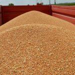 Posle trideset godina izvozićemo pšenicu u Egipat