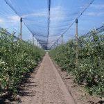 Zelena (letnja) rezidba voćaka