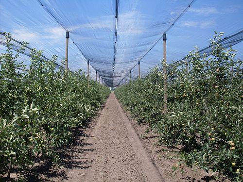 Proređivanje plodova jabuke redovna pomotehnička mera