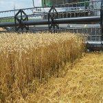 Rod pšenice oko 2,7 miliona tona, dovoljno za domaće potrebe i izvoz