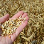 Razmena semenske za merkantilnu pšenicu roda 2018. i 2019. godine