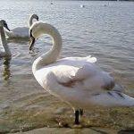 Potvrđen ptičiji grip i na području Zrenjanina