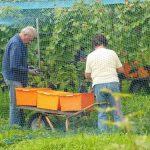 Stono grožđe, berba i čuvanje