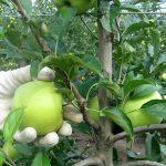 Zaštita zasada jabuke pred berbu