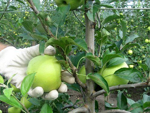 Jabuka zrela, zelene boje, berač je skida sa grane