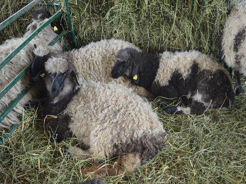 Ishrana bremenitih ovaca