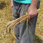 NAP najavio protest poljoprivrednika: Minimalna cena pšenice 22 dinara/kg + PDV