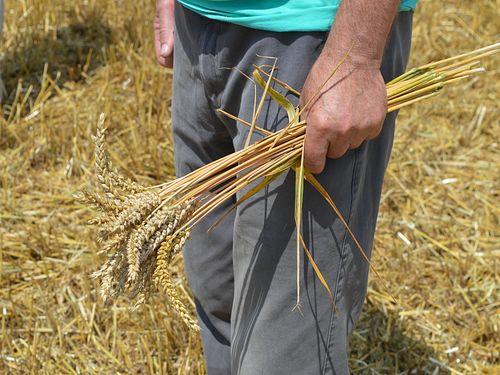 Otkupna cena pšenice će se znati kad Vlada Srbije odobri novac