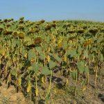 Vlada neće zabraniti izvoz suncokreta