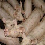 Način formiranja svinjarskih farmi po kategorijama