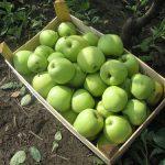 Jabuka: Sprečavanje pojave skladišnih bolesti plodova