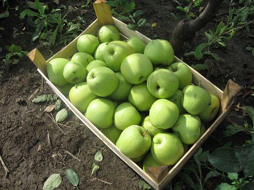 Prihrana jabuke u organskoj proizvodnji
