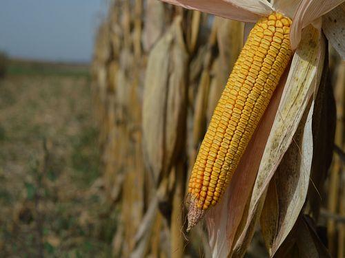 Počela trgovina kukuruzom novog roda