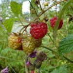 Sadnja maline od oktobra do aprila obezbeđuje dobar prijem sadnica
