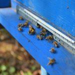 Zazimljavanje pčelinje zajednice na jednom ili dva tela?