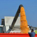 Na tržištu kukuruza najturbulentnije, cena 16 din/kg