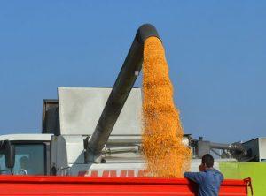 kipovanje kukuruza zlatica