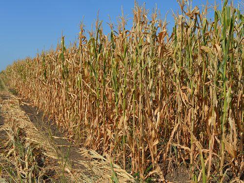 Država kompletira paket pomoći poljoprivrednicima – uljare žanju dobit
