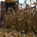 Cenovni skok kukuruza
