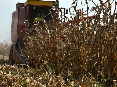 Ne žuriti sa berbom kukuruza, proveriti vlagu zrna, dezinfikovati skladišta